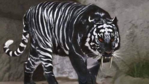 """印度动物园的""""镇园之宝"""",全球唯一的黑色老虎,网友:挖过煤?"""