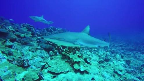 最接近天堂的地方:汇聚了上千条鲨鱼,迷人又危险