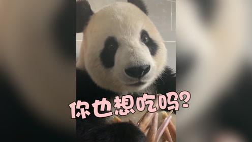 """嘎嘣脆!国宝熊猫开""""吃播"""",网友:原来它吃竹子也剥皮!"""
