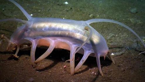 这种猪生活在海里,长相和海参差不多,可惜它却不能吃!