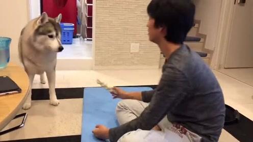 趣味萌宠:可爱雪橇犬和主人在健身房