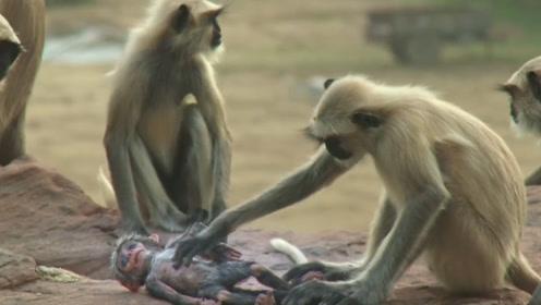 一人将仿真猴丢入猴群,猴子误以为自己失手杀猴,现场让人落泪!