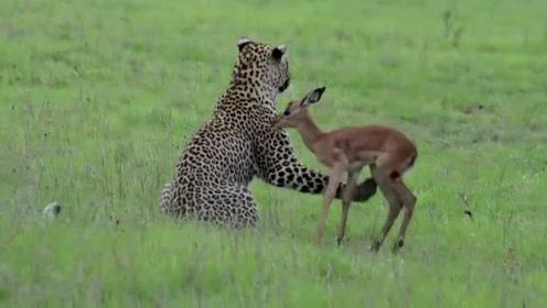霸道总裁和它的小羚羊,花豹就是花豹居然还养起了宠物