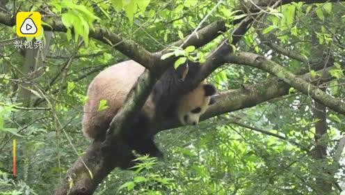 最新大熊猫数据:全球圈养大熊猫数量达600只
