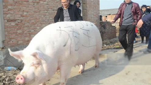 如果一头猪养一辈子不杀,能养到多大?说出来或许你都不敢信!