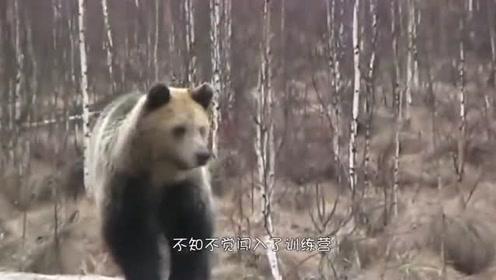 棕熊不小心闯进了训练场,被一群俄罗斯士兵抓到了,棕熊:给我留点面子行不