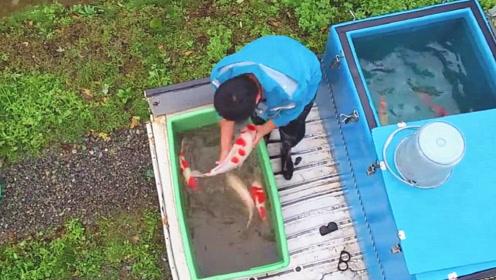 抓获一窝宝贝锦鲤,朋友随即将它们养在水池里,下一幕看着真养眼