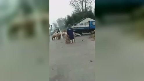 """奔跑的人民币!10多头猪街头四处逃窜 路人上演""""捉猪记"""""""
