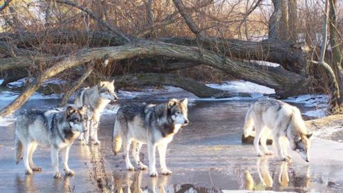 白狼妈妈保护幼崽与4只公狼厮杀,镜头记录瞬间