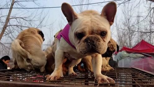 宠物市场上的狗也分贵贱,120000一只的恶霸喝的是矿泉水,二哈超便宜