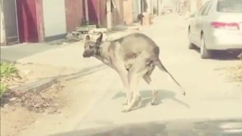 农村老家见到的一只狗狗,对方的造型很像一只袋鼠,网友:影帝!