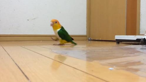 鹦鹉从门缝隙中偷看,发现主人不在,随后的反应大家憋住别笑啊