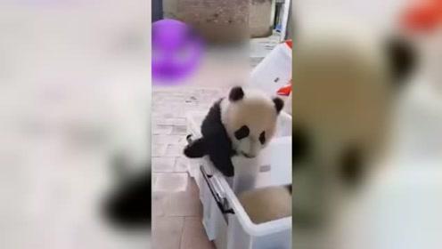 动物园回应员工带人摸熊猫幼崽:饲养人员私自带人进入