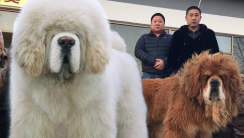 全世界最名贵的藏獒,仅存在于中国,1000万也买不到