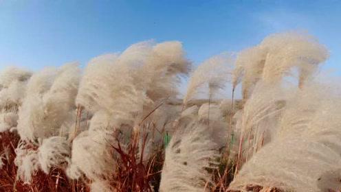 实拍东营黄河三角洲 ,蓝天白云下芦苇迎风飘荡
