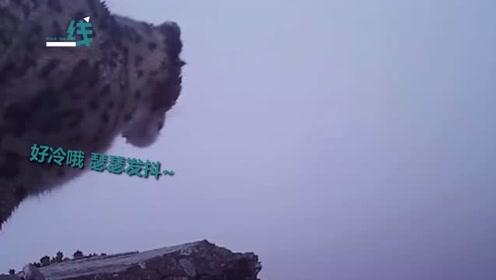 四姑娘山首次拍到野生雪豹的清晰影像 网友:像只大猫一样瑟瑟发抖