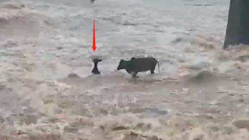 几只牛过涨洪水的桥,走一半只剩下一只,接下来的反应忍住不要笑