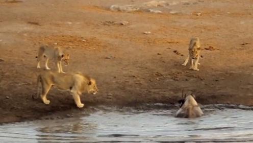 3头狮子围攻犀牛,不料犀牛脾气上来了,接下来狮子惨了!
