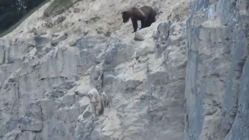 棕熊欲捕食羚羊母子,却被带到悬崖边上,看上去太危险了