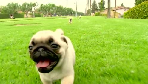 帕格小狗们疯狂在草地上追逐打闹,每一幕都是表情包,网友:好萌