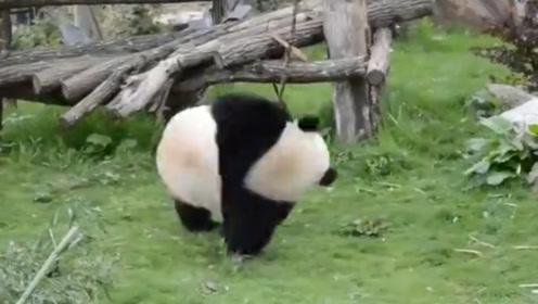 熊猫:两脚兽你看什么看?再看连你一起揍!