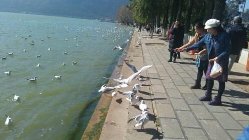 放开你们的手!游客滇池抓海鸥强行喂食,网友:怎么可以对动物如此过分?