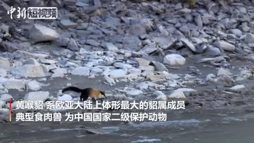 三江源核心区首次人工拍摄到黄喉貂栖息画面