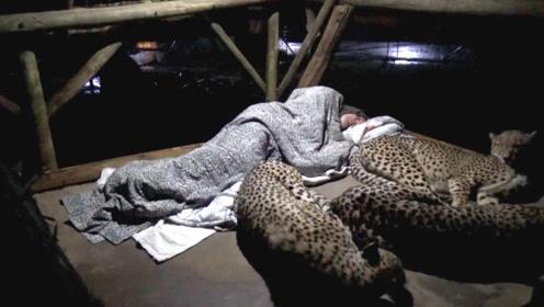 老外野外露营,半夜醒来身上趴了三只猎豹,场面差点控制不住
