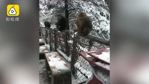 不是头皮雪!峨眉山迎2019入冬首场降雪,猴群雪地撒欢