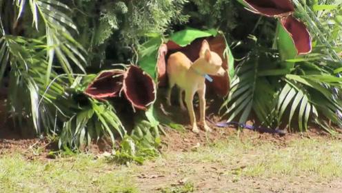 食蝇草一口生吞了一条狗,路人看后吓坏了,镜头记录这一幕!