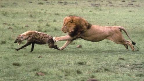 狮子咬伤鬣狗后腿,鬣狗用2条腿逃跑,网友直呼:四驱变两驱