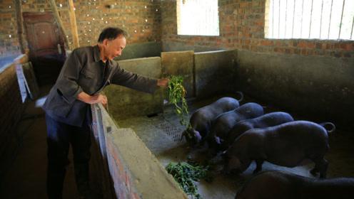 七旬老农结束打工返乡创业,养兔被骗,养猪前两年不挣钱今年挣了