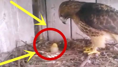 奇葩男子把老鹰蛋换成鸡蛋,小鸡出壳后,鹰妈妈的表情绝了!