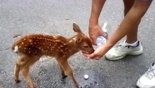 口渴的小鹿向人类要水喝,完事后粘着恩人不走了,你会怎么办呢