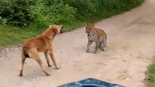 豹子想吃狗肉,却被狗子狂喷一分钟!豹子:肉没吃上,还被骂了半天!