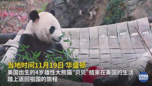 """旅美大熊猫""""贝贝""""坐专机吃零食,启程回国"""