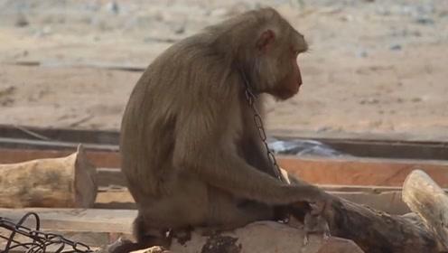 猴子抓到一只老鼠,帮它捉起虱子来,求老鼠的心理阴影