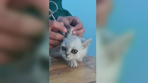 给猫咪掏耳朵,猫咪却这幅表情,猫咪动作太可爱了