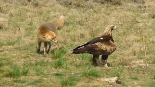 老鹰欲捕食狐狸,降落后却发现狐狸也想捕食自己,吓得连忙飞走