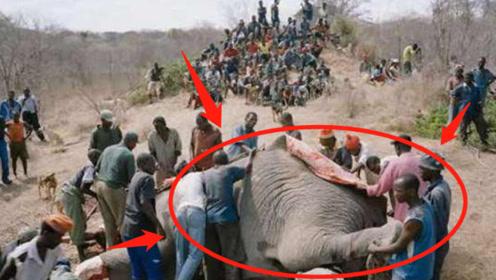 大象数量急剧减少,除了象牙竟还有这层原因,网友:就是是谁的错?