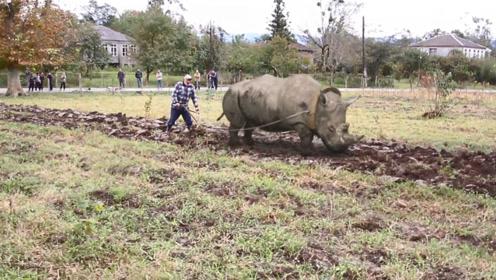 犀牛也是牛,用来耕田,好像也没毛病吧?