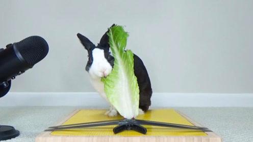 一只吃青菜的兔子,突然觉得青菜很好吃的样子,想吃