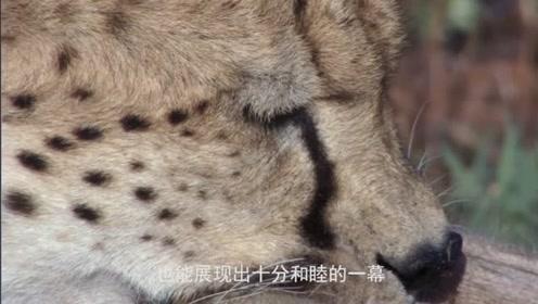 难以置信!人竟然可以和猎豹和睦相处,镜头记录全过程