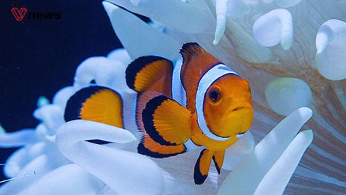 小丑鱼或将灭绝,繁殖方式无法适应气候变化