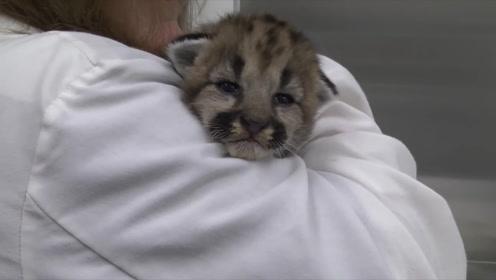 女孩捡到怪异小奶猫,专家越看越不对劲,研究后发现竟是美洲狮