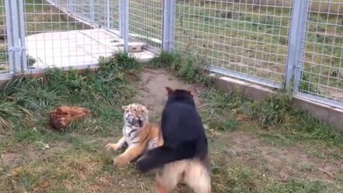 德牧犬趁着老虎不在家,使劲儿欺负小老虎,不料虎爸回来了