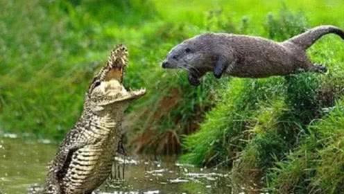 鳄鱼单挑七八只巨水獭,结果不到5分钟,就成了水獭的午餐!