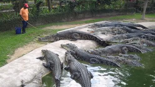 鳄鱼开饭场面太震撼,饲养员亲自上阵,结果被十几条鳄鱼围住