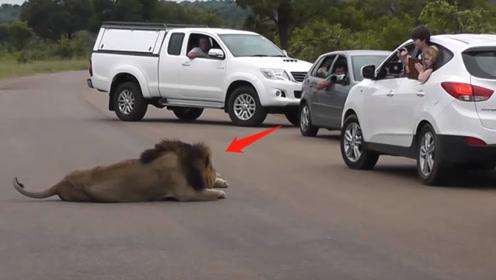 司机围观狮子打盹,结果下一秒狮子发威,男子瞬间缩回车里