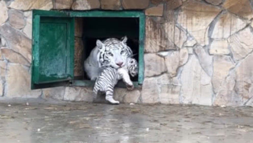 小老虎学妈妈的样子吓唬游客,没想到游客却哈哈大笑,虎妈:别丢虎脸了